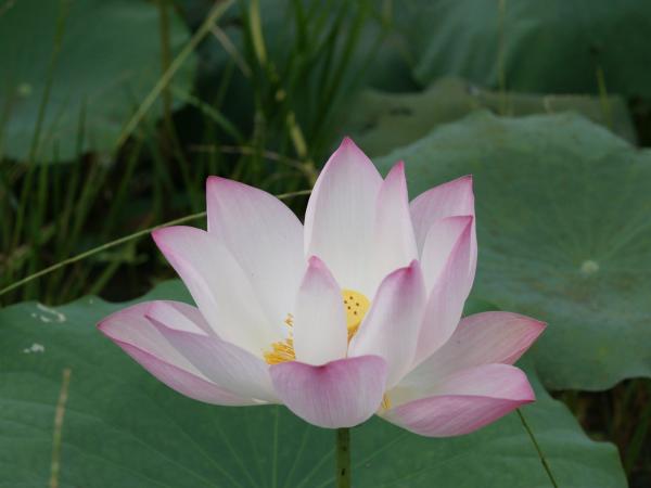 lotus rosé3_html_3b1fd62a