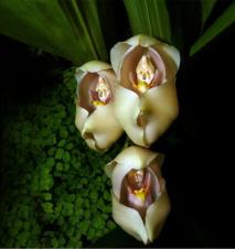 fleur bebe couffin anguloa uniflora