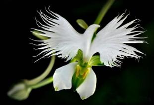 fleur colombe labenaria radiata